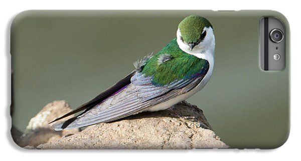 Violet-green Swallow IPhone 6 Plus Case by Mike Dawson