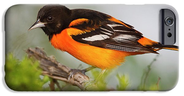 Oriole iPhone 6s Case - Baltimore Oriole Foraging by Larry Ditto