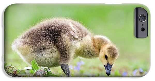 Gosling iPhone 6s Case - Canada Goose by John Devries/science Photo Library
