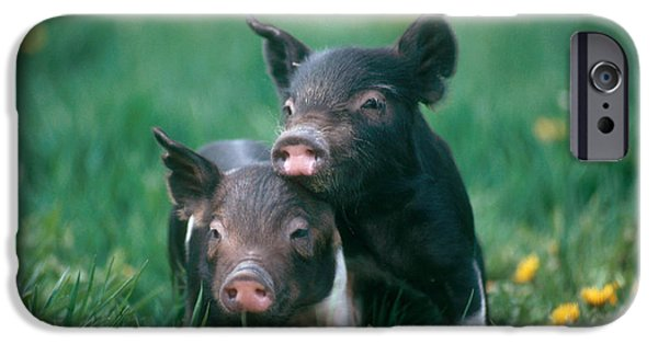 Pig iPhone 6s Case - Domestic Piglets by Alan Carey