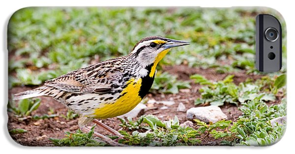 Eastern Meadowlark Sturnella Magna IPhone 6s Case by Gregory G. Dimijian