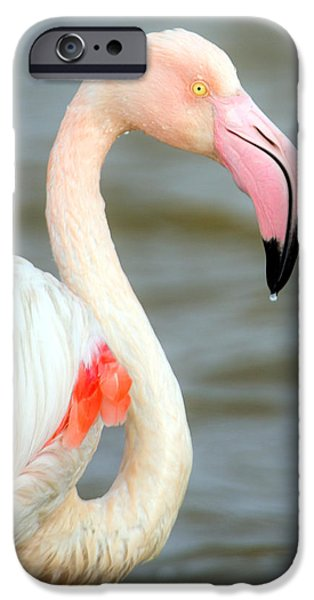Greater Flamingo Phoenicopterus Roseus IPhone 6s Case