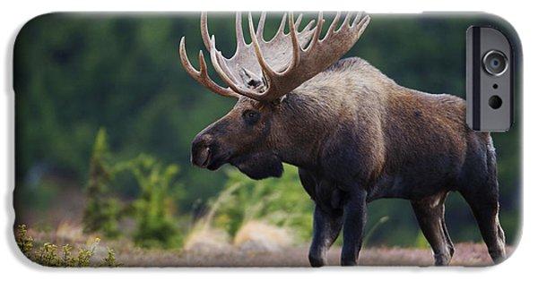 Moose Bull Walking On Autumn Tundra IPhone 6s Case by Milo Burcham