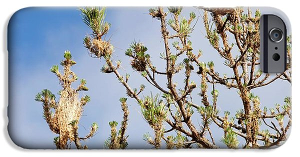 Nests Of Pine Processionary Caterpillar IPhone Case by Ashley Cooper