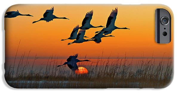 Crane iPhone 6s Case - Red-crowned Crane by Hua Zhu
