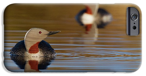 Red-throated Loon Pair IPhone 6s Case