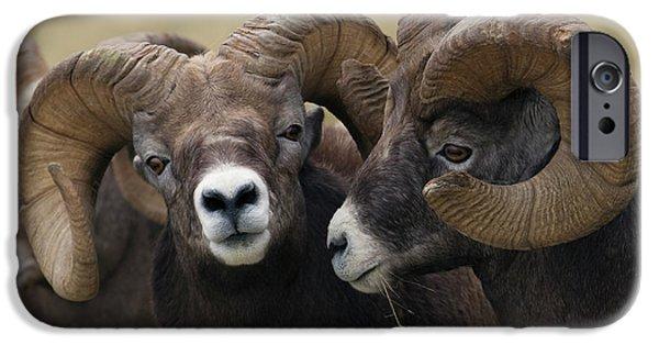 Rocky Mountain Bighorn Sheep iPhone 6s Case - Rocky Mountain Bighorn Sheep Rams by Ken Archer