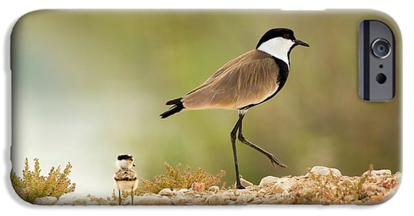 Lapwing iPhone 6s Case - Spur-winged Lapwing Vanellus Spinosus by Photostock-israel