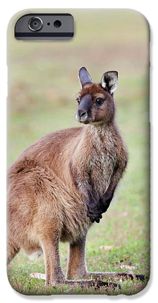 Western Grey Kangaroo (macropus IPhone 6s Case by Martin Zwick