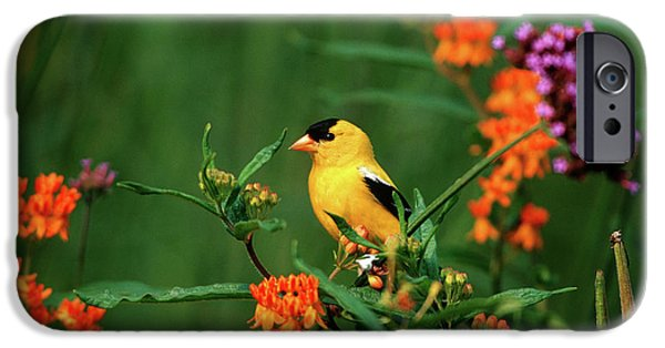 Canary iPhone 6s Case - American Goldfinch (carduelis Tristis by Richard and Susan Day