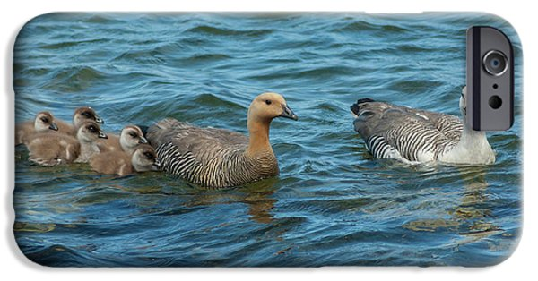 Gosling iPhone 6s Case - Falkland Islands, Bleaker Island by Jaynes Gallery
