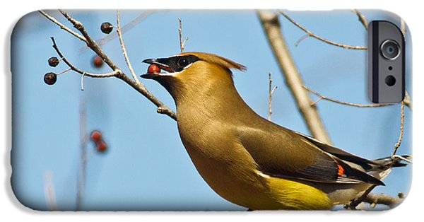 Cedar Waxwing With Berry IPhone 6s Case by Robert Frederick