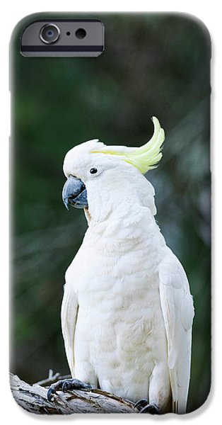 Cockatoo iPhone 6s Case - Sulfur-crested Cockatoo (cacatua by Martin Zwick