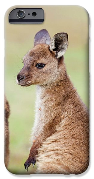 Western Grey Kangaroo (macropus IPhone 6s Case
