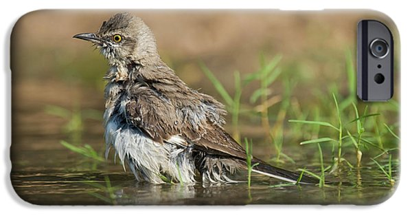 Mockingbird iPhone 6s Case - Usa, Texas, Starr County by Jaynes Gallery