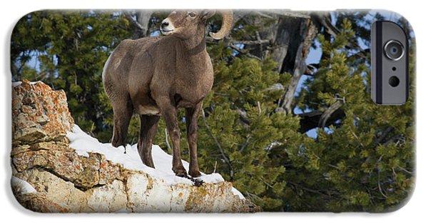 Rocky Mountain Bighorn Sheep iPhone 6s Case - Rocky Mountain Bighorn Sheep Ram by Ken Archer