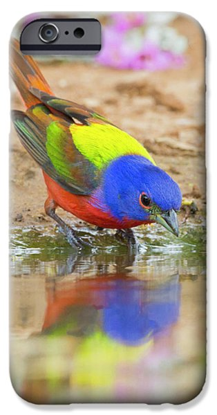 Painted Bunting (passerina Ciris IPhone 6s Case
