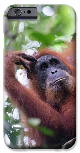 Sumatran Orangutan IPhone 6s Case by Scubazoo