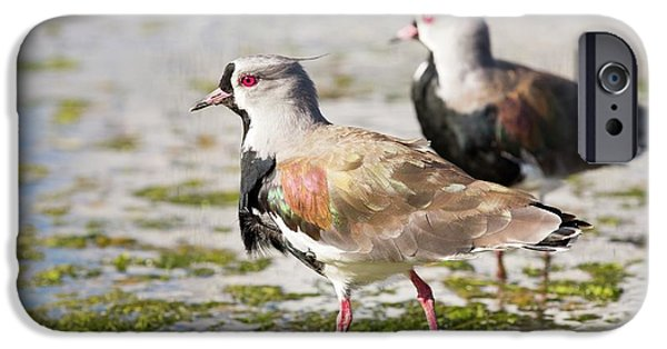 Lapwing iPhone 6s Case - A Flock Of Southern Lapwings by Ashley Cooper