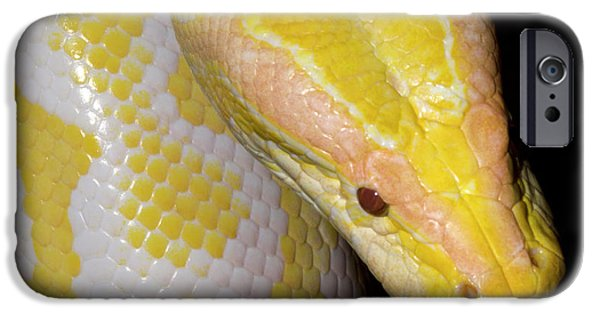 Albino Burmese Python IPhone 6s Case by Nigel Downer