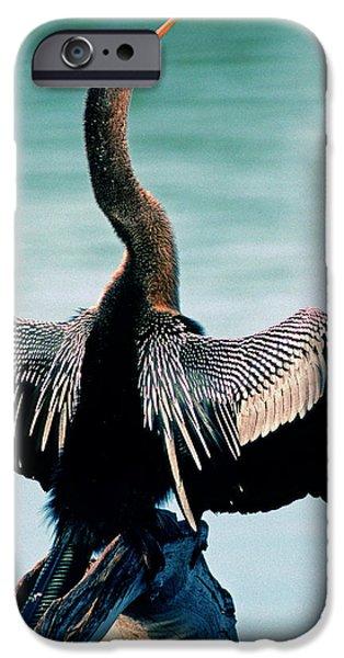 Anhinga Anhinga Anhinga Drying Feathers IPhone 6s Case