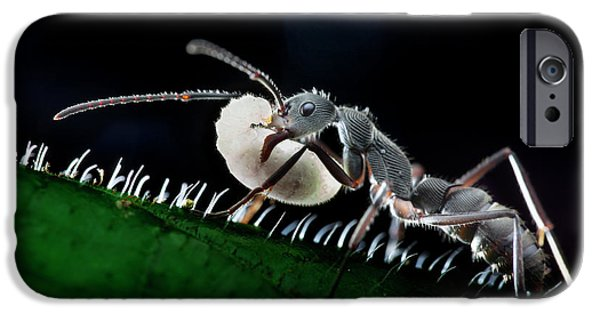 Ant Carrying Larva IPhone 6s Case by Melvyn Yeo