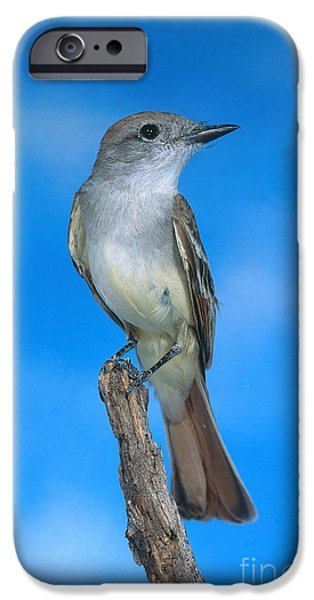 Ash-throated Flycatcher IPhone 6s Case by Anthony Mercieca