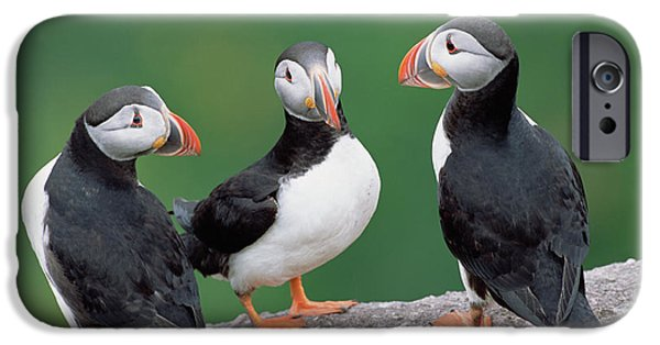 Atlantic Puffin Breeding Colony Canada IPhone 6s Case by