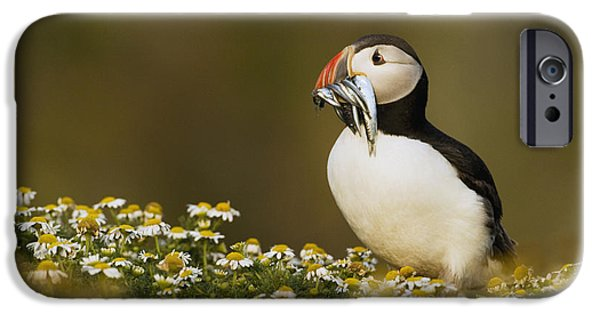 Puffin iPhone 6s Case - Atlantic Puffin Carrying Fish Skomer by Sebastian Kennerknecht