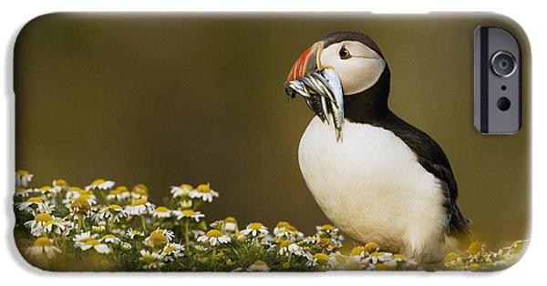 Atlantic Puffin Carrying Fish Skomer IPhone 6s Case by Sebastian Kennerknecht
