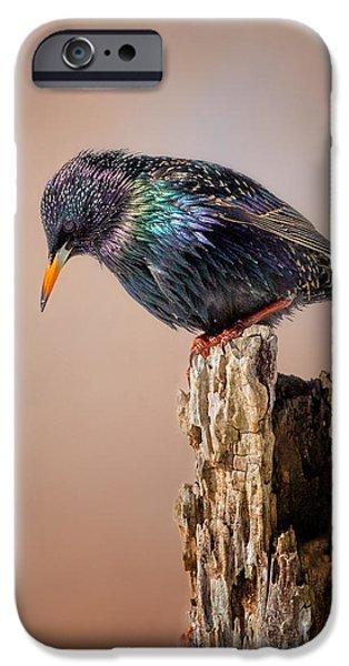 Backyard Birds European Starling IPhone 6s Case by Bill Wakeley