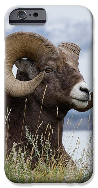 Rocky Mountain Bighorn Sheep iPhone 6s Case - Bighorn Sheep Ram by Ken Archer