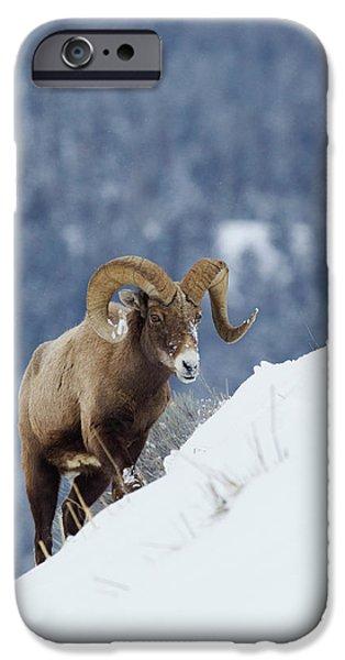 Rocky Mountain Bighorn Sheep iPhone 6s Case - Bighorn Sheep Ram On Winter Range by Ken Archer