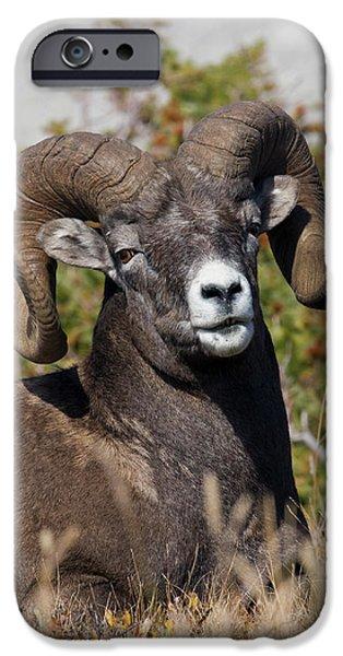 Rocky Mountain Bighorn Sheep iPhone 6s Case - Bighorn Sheep Ram Portrait by Ken Archer