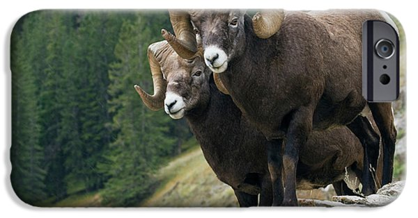Rocky Mountain Bighorn Sheep iPhone 6s Case - Bighorn Sheep Rams by Ken Archer