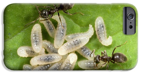 Black Garden Ants Carrying Larvae IPhone 6s Case by Nigel Downer