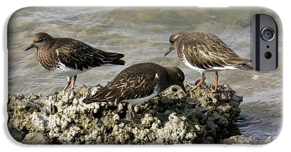 Black Turnstones Feeding IPhone 6s Case by Bob Gibbons