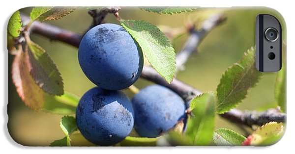 Blue Berry iPhone 6s Case - Blackthorn Berries by Daniel Sambraus/science Photo Library