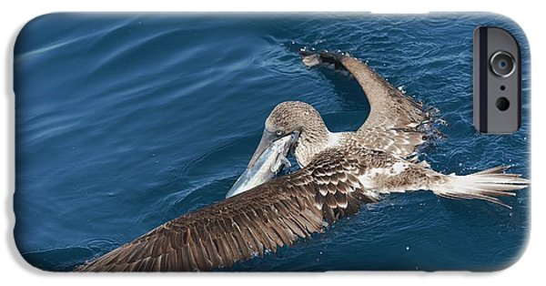 Blue-footed Booby Feeding IPhone 6s Case by Christopher Swann