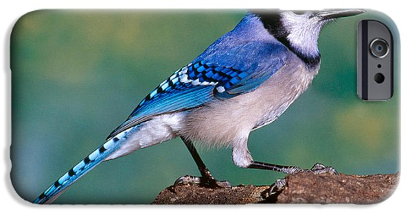 Blue Jay IPhone 6s Case by Millard H. Sharp