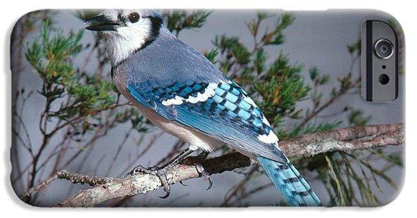 Bluejay Calling IPhone 6s Case by John S. Dunning