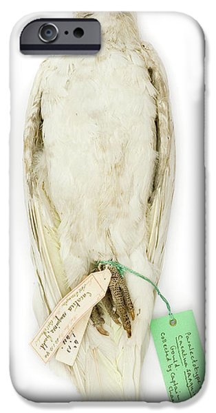 Cockatoo iPhone 6s Case - Cacatua Sanguinea by Natural History Museum, London