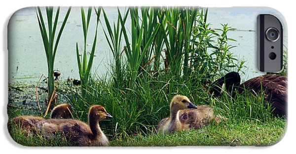 Gosling iPhone 6s Case - Canada Geese Branta Canadensis by Animal Images