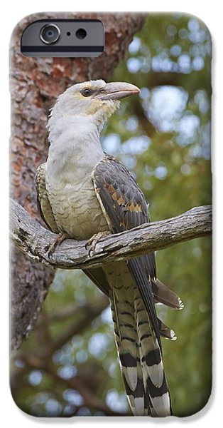 Cuckoo iPhone 6s Case - Channel-billed Cuckoo Fledgling by Martin Willis