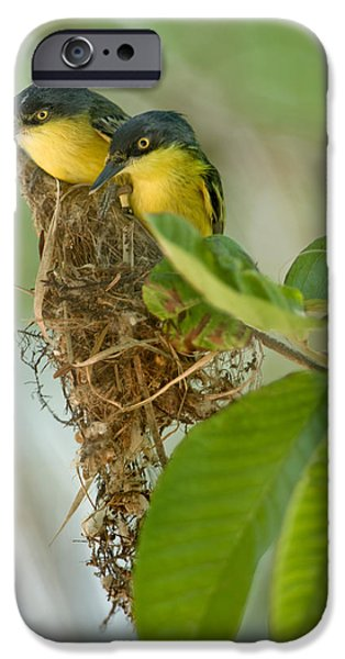 Close-up Of Two Common Tody-flycatchers IPhone 6s Case