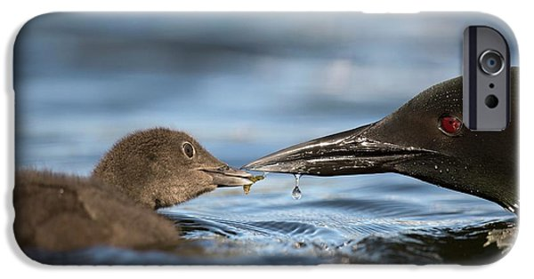 Loon iPhone 6s Case - Common Loon Feeding Chick by Dr P. Marazzi