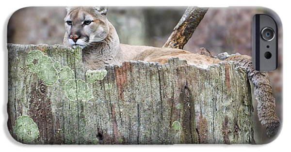 Cougar On A Stump IPhone 6s Case