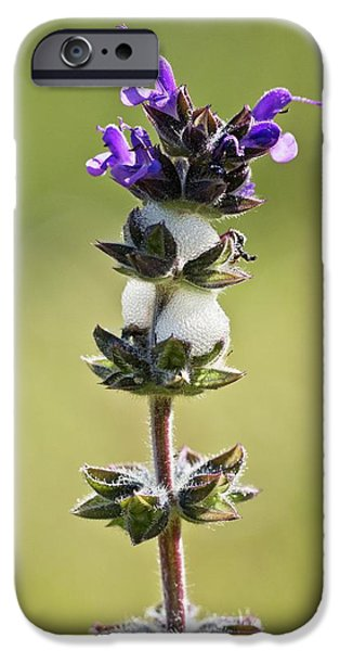 Cuckoo iPhone 6s Case - Cuckoo-spit On Clary (salvia Verbenaca) by Bob Gibbons