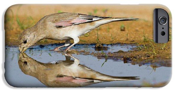 Desert Finch (carduelis Obsoleta) IPhone 6s Case by Photostock-israel