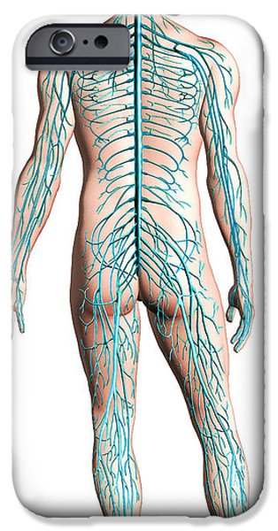 Diagram Of Human Nervous System IPhone Case by Leonello Calvetti